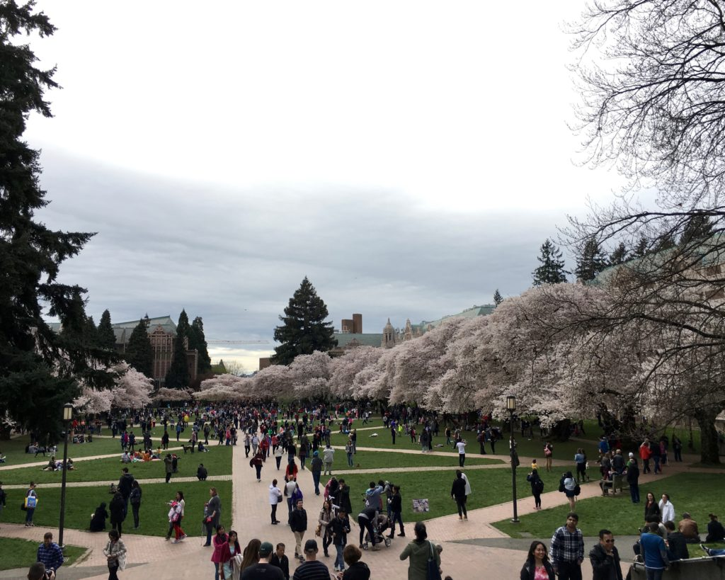 A Trip to See the Annual Cherry Blossoms at the University of Washington
