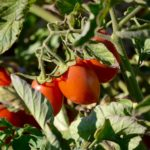 Farm to Plate: How Tomato Paste Is Made